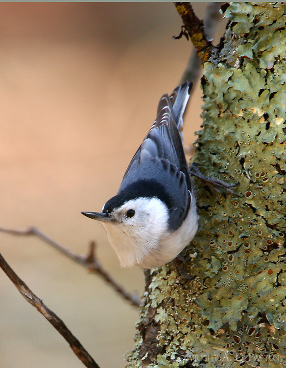 Adult male white-breasted nuthatch on tree trunk
