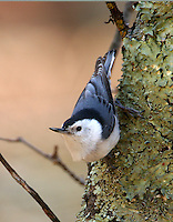 Nuthatches and Creepers