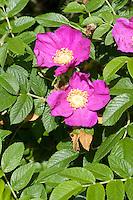 Kartoffel-Rose, Kartoffelrose, Runzel-Rose, Runzelrose, Rose, Blüten, Rosa rugosa, Japanese Rose