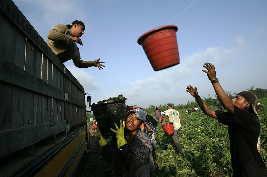 LABOR2.NE.060807.EDR.JPG  Workers, several of whom said they were here illegally, pick cucumbers in Edgecombe County on Friday, June 8, 2007.  Staff photo by Ted Richardson/News & Observer...