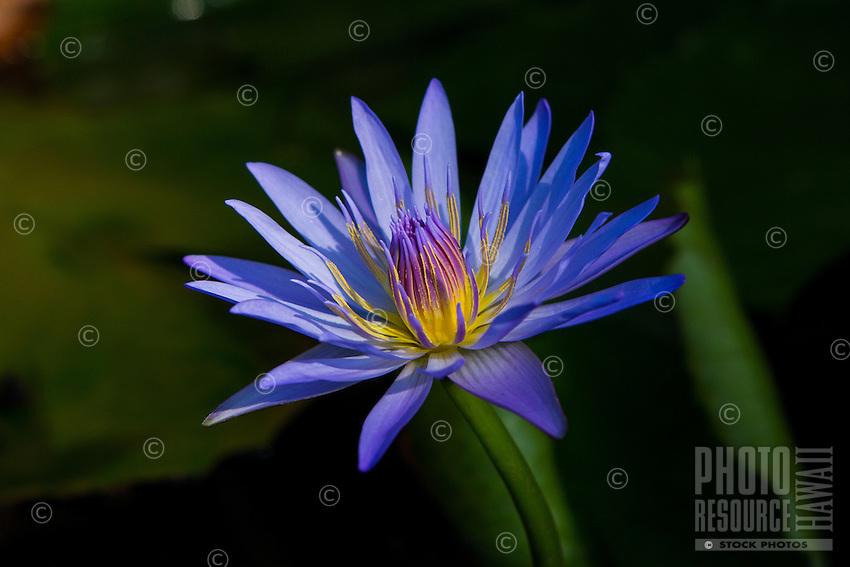 Sunlit blue water lily flower, Big Island.