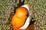 Courious clownfish Inside anemone at Keramas Island Okinagua Japan.