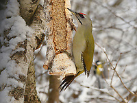 Grauspecht, Männchen an der Vogelfütterung, Grau-Specht, Erdspecht, Erdspechte, Picus canus, grey-headed woodpecker, grey-faced woodpecker, male, Le Pic cendré