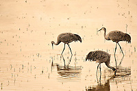 Three Sandhill Cranes wading and feeding in a pond at sunset in Bosque del Apache National Wildlife Refuge.