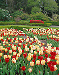 Shore Acres State Park, OR  <br /> Spring flowering tulips (red flowering - Oxford and yellow flowering - Bleeding Heart) in one of the formal garden beds in Shore Acres Gardens