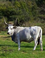 Italien, Latium, Rinderzucht im noerdlichen Latium bei Tarquinia | Italy, Lazio, cattle breeding at northern Lazio