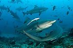 Bull Sharks, Carcharhinus leucas, gather during a shark dive at Shark Reef Marine Reserve offshore Pacific Harbor, Viti Levu, Fiji.