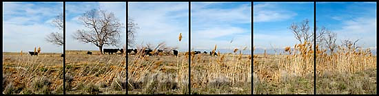 cows in field, tree<br />