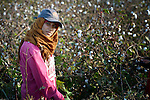 A woman harvests cotton outside the Egyptian village of Sakra.