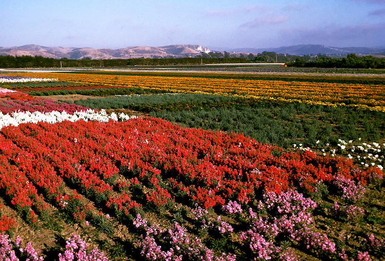 California: Santa Barbara. Flower fields at Lompoc.  Photo #: casbar105.  Photo copyright Lee Foster, 510/549-2202, lee@fostertravel.com, www.fostertravel.com