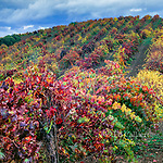 Autumn Vineyards, Carneros, Napa Valley, California