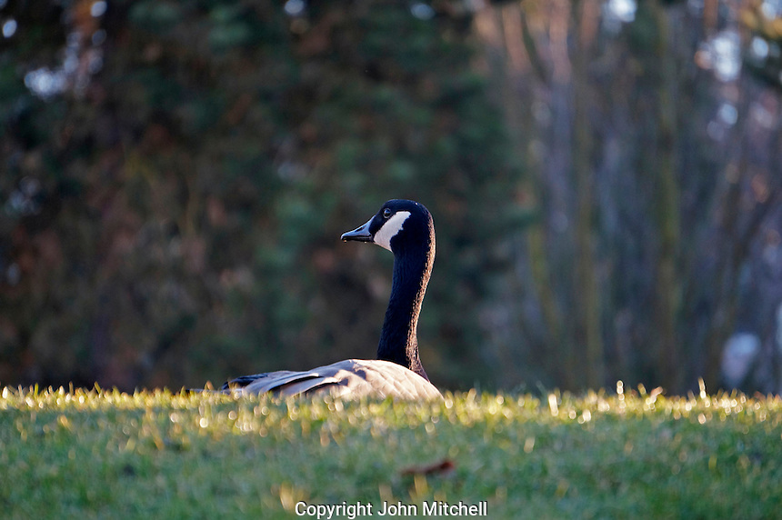 Canada Goose sitting in the grass,Vancouver, BC, Canada