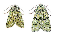 Merveille du Jour Dichonia aprilina Length 24-26mm. A stunningly beautiful moth whose patterning is a good match for tree lichen. Rests with wings spread flat or in tent-like manner. Adult has pale lime-green forewings marked with pale sky-blue patches and black and white lines. Larva feeds on oaks. Widespread and fairly common in southern and central Britain; more local further north.