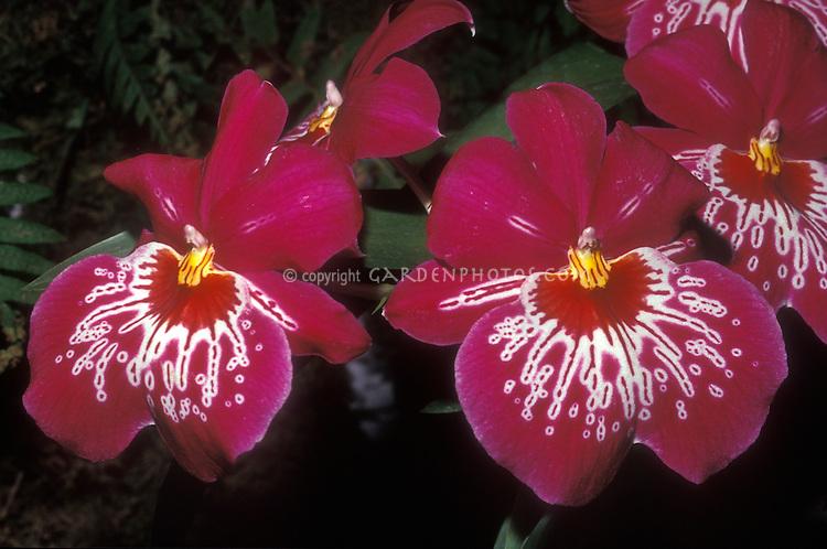 Waterfall Pansy Orchid: Miltonia Dennis Kleinbach hybrid Miltoniopsis