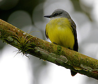 Adult tropical kingbird
