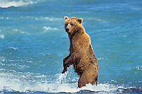 Grizzly Bear standing in the McNeil River as it fishes for salmon--probably watching other bears.  Alaska.  Summer.