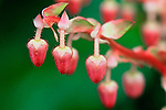 Vashon Island, WA<br /> Pink Salal (Gaultheria shallon) flowers, shrub of coniferous coastal  forests