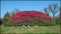 BNPS.co.uk (01202 558833)<br /> Pic:  PhilYeomans/BNPS<br /> <br /> The huge shrub is visible on Google Earth.<br /> <br /> Shrubzilla - Britain's biggest rhododendron bush has burst into flower early after ideal conditions have produced a stunning display.<br /> <br /> The majestic shrub, that measures 120ft long and 50ft high, is within the gardens of the exclusive South Lodge Hotel in Horsham, West Sussex.<br /> <br /> And head gardener Paul Collins is going to need a bigger set of shears to prune the mountainous shrub that is actually native to the Himalayas.<br /> <br /> The plant is currently covered in hundreds of vibrant purple flowers having benefited from a mild winter that was boosted by a wet February.<br /> <br /> The rhododendron - Rhododendron arboreum Smithii in Latin - was planted more than 120 years ago by Victorian explorer Frederick Du Cane Godman.
