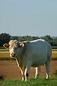 06/09/07 - LIMAGNE - PUY DE DOME - FRANCE - Elevage de bovins allaitants. Genisse CHAROLAISE - Photo Jerome CHABANNE