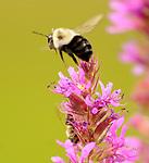 Bee seen in the Esopus Bend Nature Preserve, in Saugerties, NY, on Saturday, September 2, 2017. Photo by Jim Peppler. Copyright/Jim Peppler-2017.