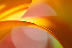 A close-up of an orange Asiatic lily