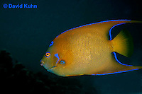 0119-08tt  Juvenile Queen Angelfish - Holacanthus ciliaris © David Kuhn © David Kuhn/Dwight Kuhn Photography
