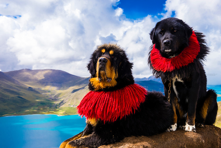 Tibetan Mastiff dogs, 15820 foot Kambala Pass (with Yamdrok Tso Lake in background), Tibet (Xizang), China.
