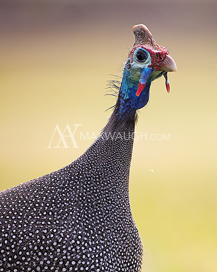 Helmeted guineafowl are often seen wandering the grounds of the African bush.