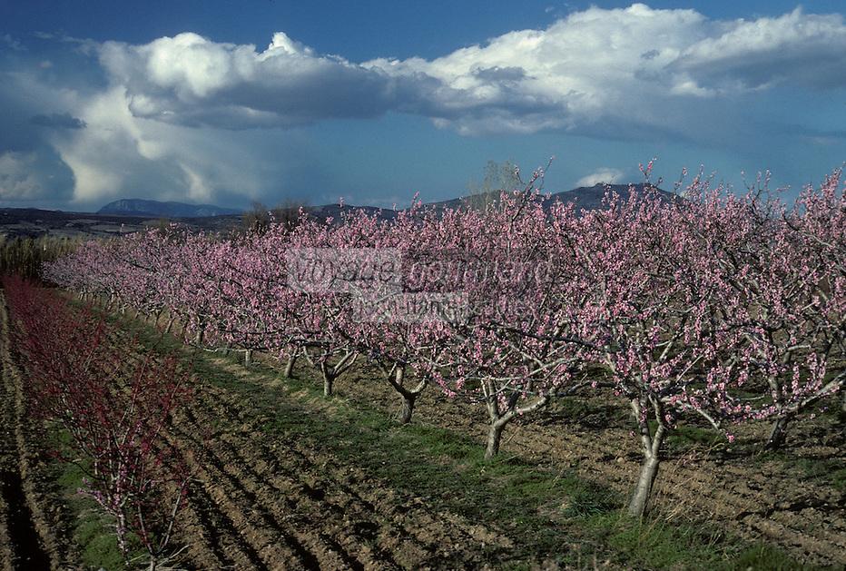Europe/France/Languedoc-Roussillon/66/Pyrénées -Orientales/Ille-sur-Têt : Pêchers en fleurs