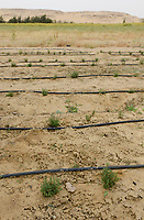 EGYPT, Bahariyya Oasis, Sekem organic farm, Project greening the desert , soil improvement step by step with compost / AEGYPTEN, Oase Bahariya, Sekem Biofarm, Landwirtschaft in der Wueste, schrittweise Bodenverbesserung mit Kompost, Kraeuter Anbau