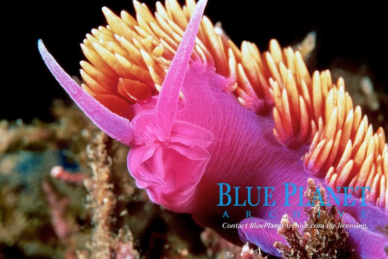 Spanish shawl nudibranch, Flabellina iodinea, Santa Cruz Island, California, East Pacific Ocean