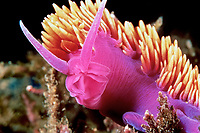 Spanish shawl nudibranch, Flabellina iodinea, Santa Cruz Island, California, East Pacific Ocean