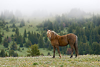 Wild Horse or feral horse (Equus ferus caballus) stallion among subalpine wildflowers.  Western U.S., summer.