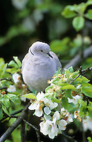 Türkentaube, Türken-Taube, Taube, in blühendem Apfelbaum, Streptopelia decaocto, collared dove