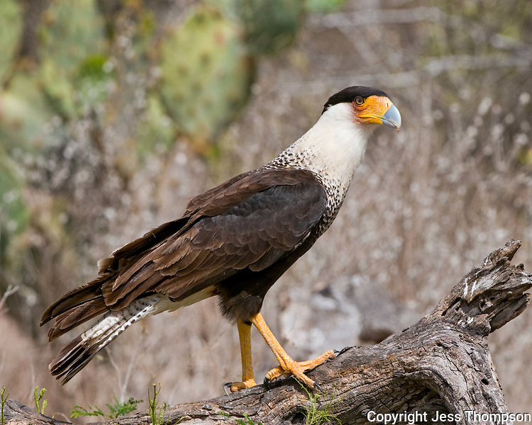 Crested Caracara, Dos Venadas Ranch, South Texas