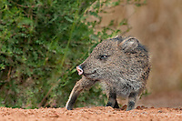 650520174 a baby javelina or collared peccary dicolytes tajacu on beto gutierrez ranch hidalgo county texas united states