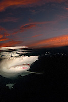 Lemon Shark, Negaprion brevirostris, cruises the surface at sunrise. Little Bahama Bank, Bahamas