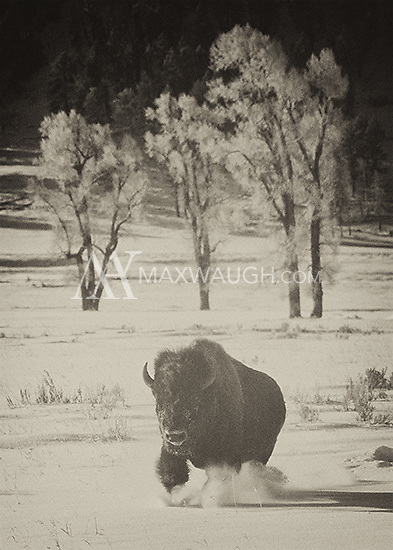 Bison are well-built to survive harsh Yellowstone winters.<br /> <br /> This image is also available in color.