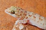 Gecko head (Hemidactylus robustus), Socotra, Yemen