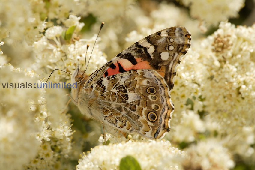 Painted Lady (Vanessa cardui) ventral view showing butterfly drinking from white flowers.