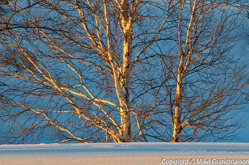 White birch trees in winter  on the golf course<br />