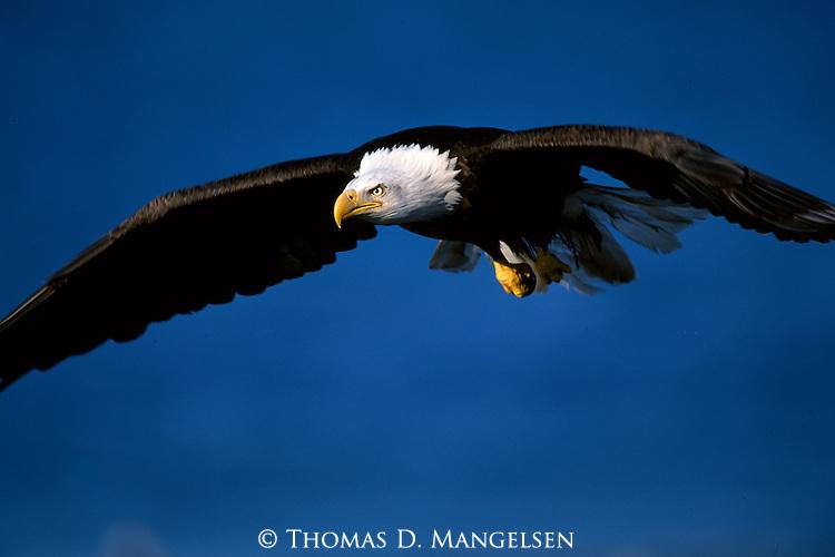 A magnificent bald eagle in flight in Southeast Alaska.