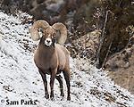 Bighorn sheep ram in winter. Park County, Montana.