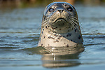 USA, California, Monterey Bay , Pacific common or harbor seal, (Phoca vitulina richardsi)