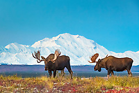 Two bull moose in front of Mt. Denali, Denali National Park, Alaska.