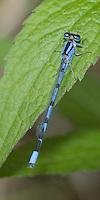 Unidentified Bluet (Enallagma sp.) Damselfly - Male, Silver Lake Preserve, West Harrison, Westchester County, New York<br /> <br /> Possibilities are Hagen's, Marsh, or Familiar Bluet.