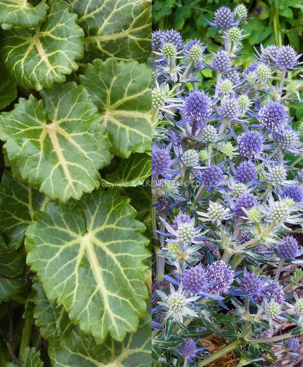 Eryngium planum composite picture with spring rosettes foliage leaves, and summer blue flowers