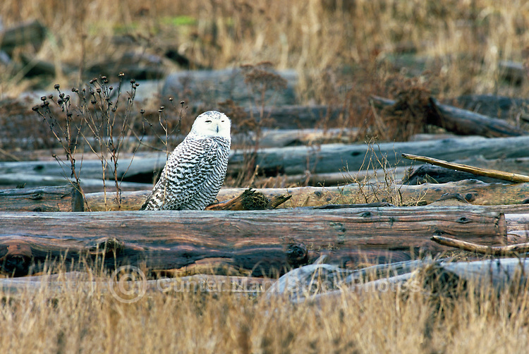Snowy Owl (Bubo scandiacus) Female or Juvenile, sitting on Frost Covered Log at Boundary Bay Regional Park, Delta, BC, British Columbia, Canada - aka Arctic Owl, Great White Owl or Harfang