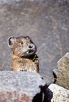 Pika, Mount Rainier National Park, Washington