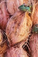 France, île de la Réunion, Saint Paul, marché hebdomadaire de Saint Paul,  Noix de coco //  France, Ile de la Reunion (French overseas department), weekly open market of Saint Paul, Coconut
